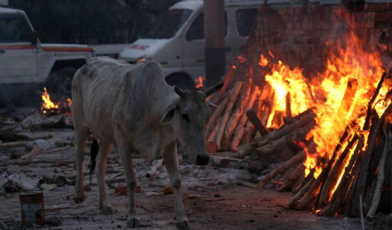 """En la India usan estiércol y orina de vaca como """"cura milagrosa"""" contra COVID-19"""