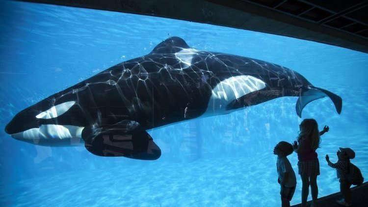 Orca con casi 40 años en cautiverio se azota contra el cristal de su encierro